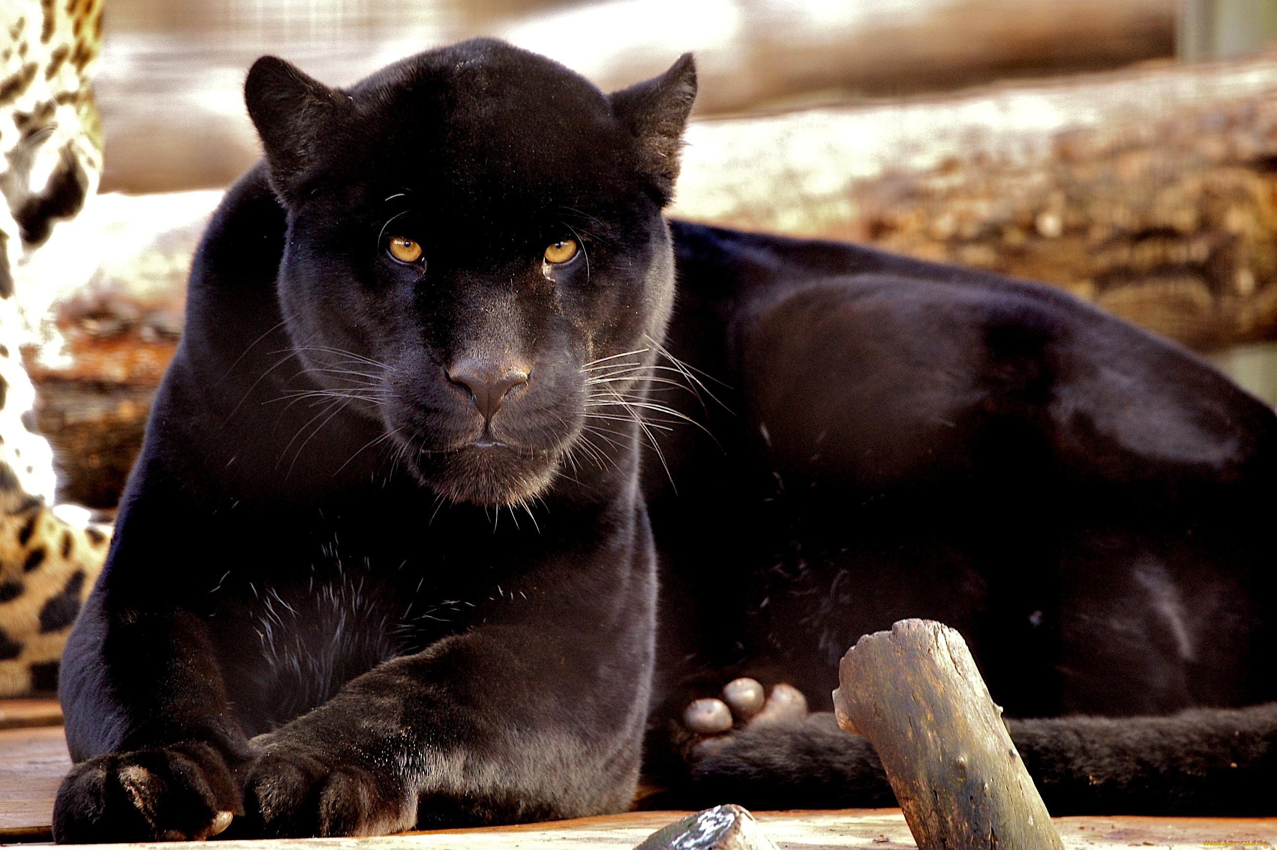 Black jaguar animal wallpaper hd